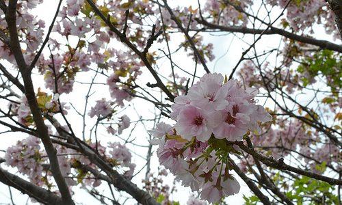 札幌なみ? 関東でも、まだ桜が見られるところがあります。