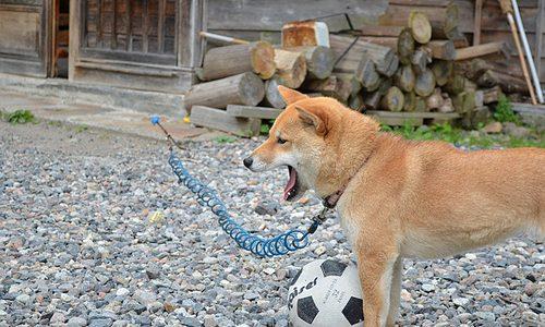 きょうの栗わんこ 栗山最奥に住むわんちゃんとサッカー対決 日光澤温泉 奥鬼怒温泉