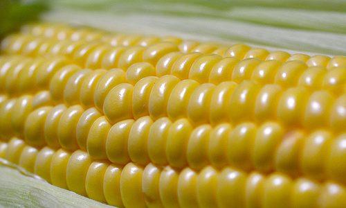 土呂部の高原トウモロコシ2012。夏のギフトにいかが?