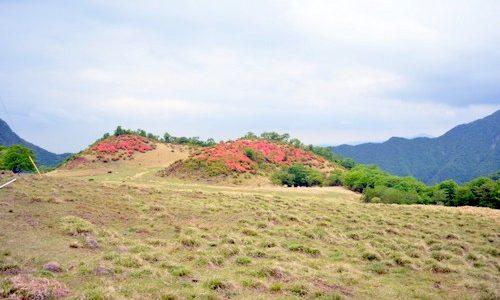 満開!真っ赤に燃える「ツツジ山」が見頃です。 日蔭地区月山