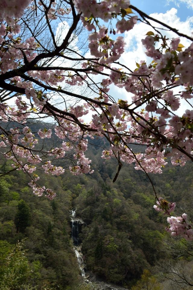 今限定。「蛇王の滝」と八重桜の共演