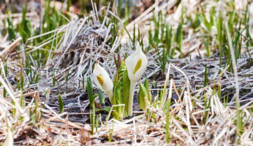 【土呂部のミズバショウ(水芭蕉)】県内唯一の自生地で、春の幸せを独占