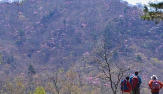 【日光・月山】ヤシオツツジの群生は毎年GWが見頃。日光連山と栗山ダムのW眺望も