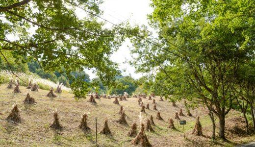 【茅ボッチのある風景】栗山の秋は紅葉と土呂部の茅ボッチ。10月上旬〜11月上旬頃限定