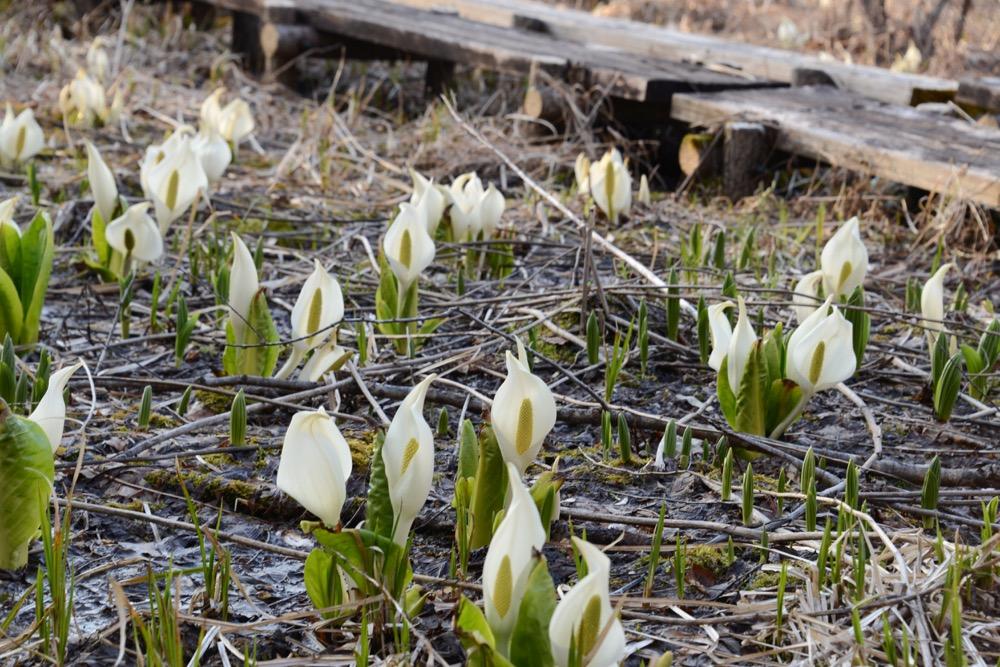 【土呂部のミズバショウ2018】県内唯一の自生地で、春の幸せを独占 ※4/17 見頃♪