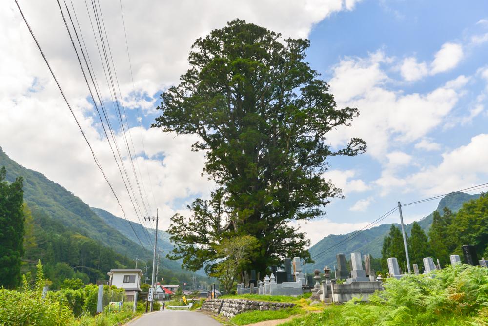 地域のシンボル 平家杉